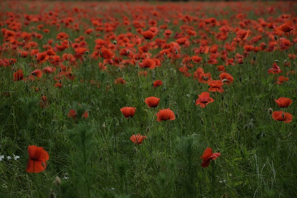 Flower, Poppy, Field, Meadow, Grass, Nature, Plant