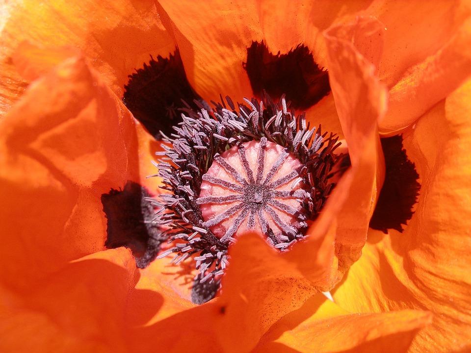 Poppy, Orange, Blossom, Bloom, Flower, Plant