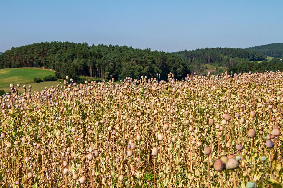 Poppy Capsule, Nature, Agriculture, Mohngewaechs, Poppy