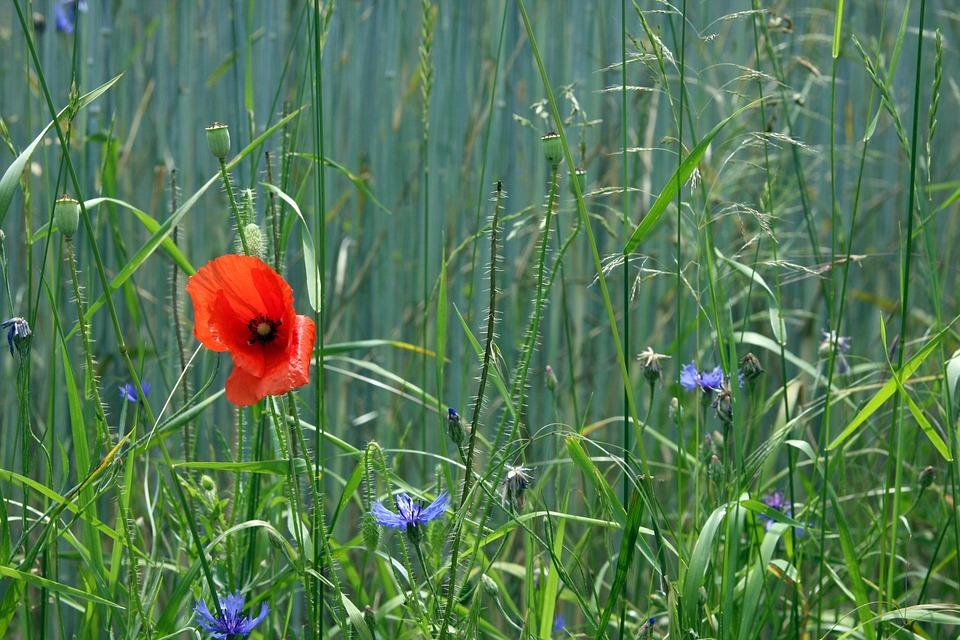 Poppy, Summer, Diversity, Red, Nature, Poppy Flower