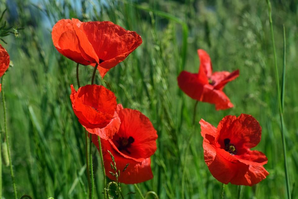 Free photo poppy poppy flower klatschmohn red field of poppies max poppy klatschmohn poppy flower red field of poppies mightylinksfo