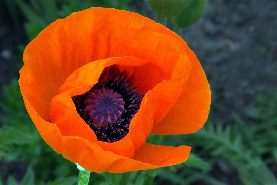 Poppy, Red, Blossom, Bloom, Klatschmohn