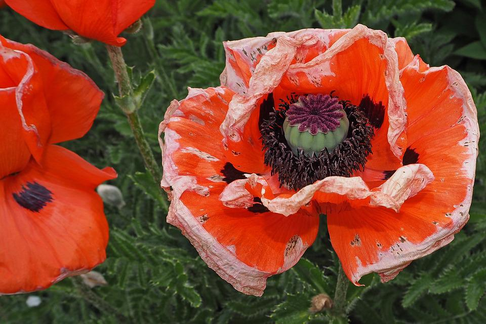 Poppy, Blossom, Bloom, Withered, Wither, Faded, Red