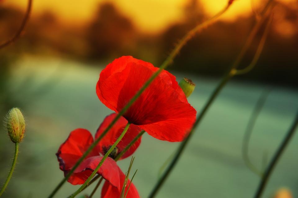 Poppy, Spring Flowers, Red Flower