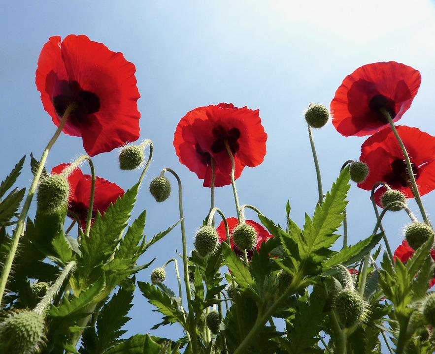 Free photo poppy red flowers poppies red green leaves red max pixel poppies red red flowers green leaves poppy red mightylinksfo Choice Image