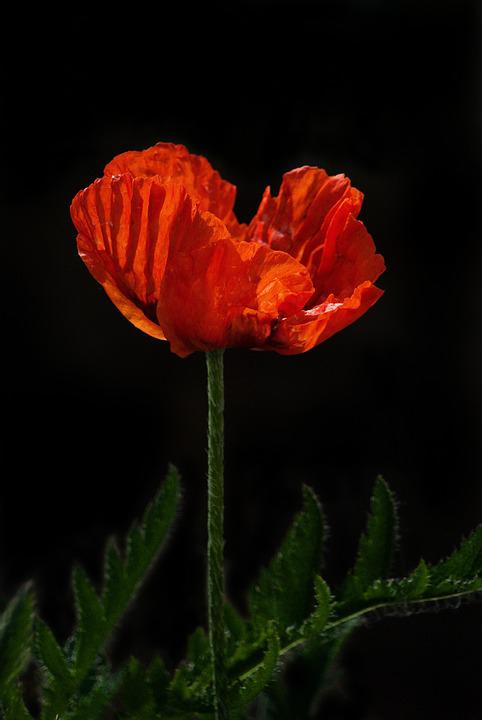 Free photo poppy red nature flower remembrance day bloom max pixel poppy remembrance red day flower bloom nature mightylinksfo