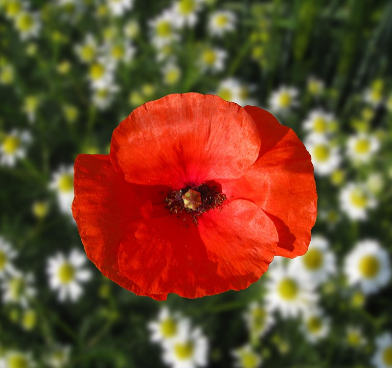 Klatschmohn, Poppy, Red, Blossom, Bloom, Red Poppy