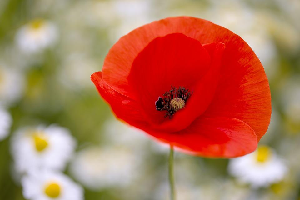 Poppy, Flower, Plant, Red Poppy, Red Flower, Petals