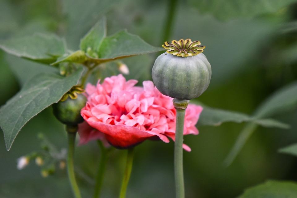 Poppy, Flower, Plant, Seed Head, Papaver Somniferum