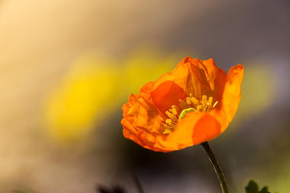 Poppy, Flower, Dolomites, Mountain, Nature, Summer