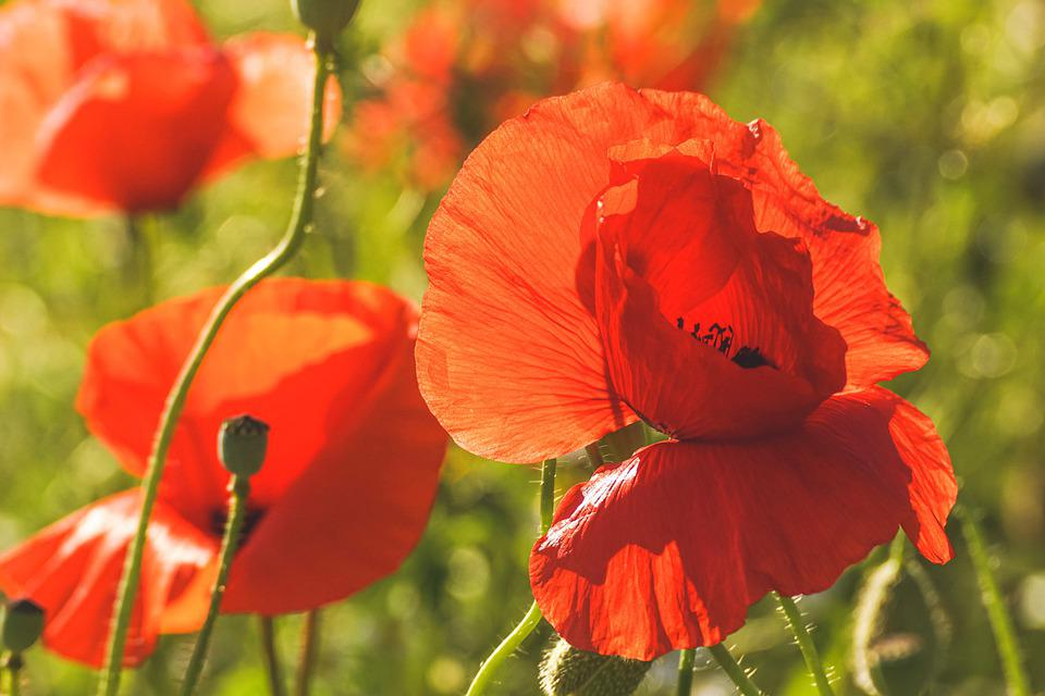 Poppy, Poppy Flower, Red, Klatschmohn, Nature, Summer