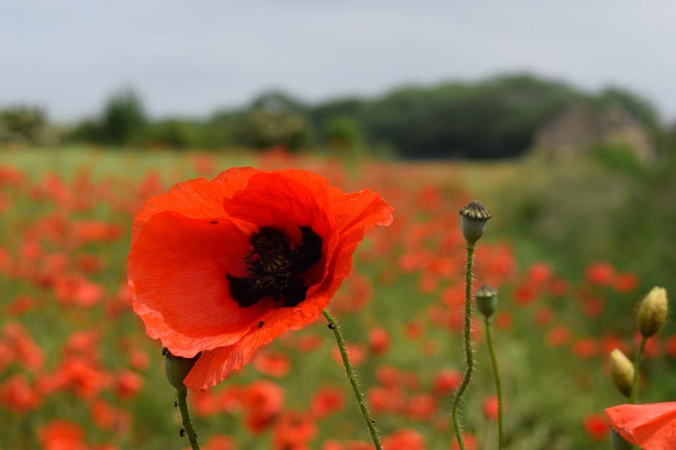 Poppy, Red, Summer, Field, Natural, Meadow, Opium, Bud