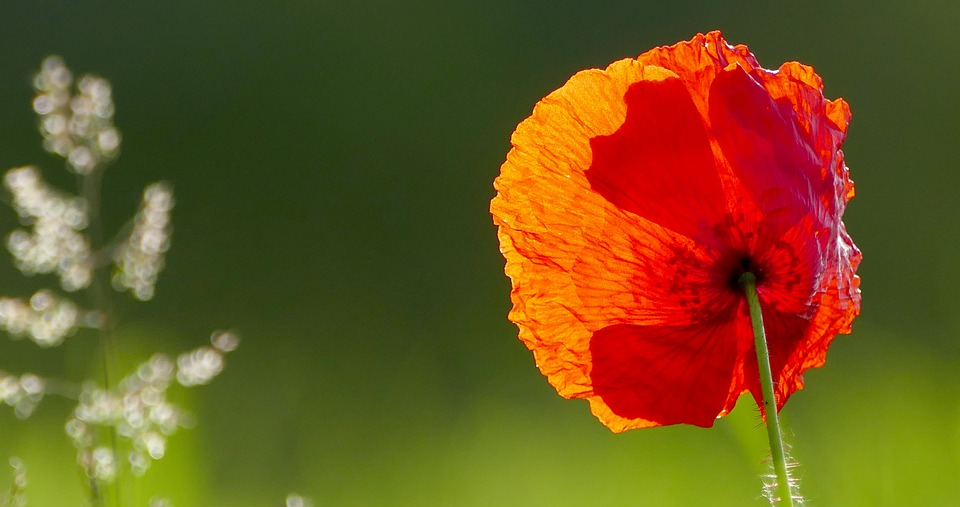 Nature, Meadow, Poppy, Sun, Light, Close, Grasses