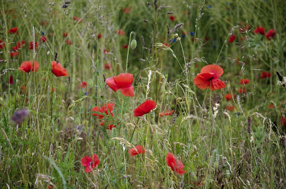 Summer Meadow, Swedish Summer, Poppy, Flower Bed