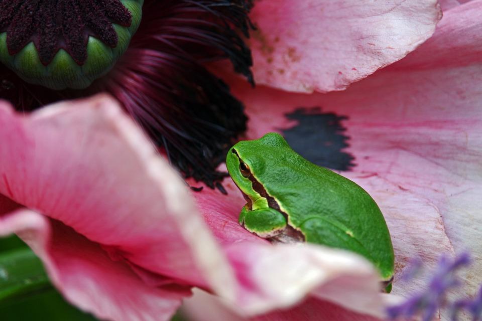 Tree Frog, Frog, Green Frog, Poppy, Amphibians, Animal