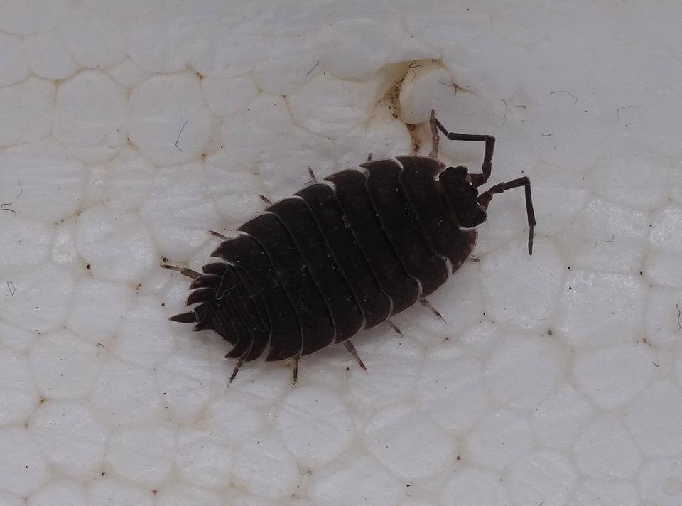 Porcellio Scaber, Assel, Terrestrial Isopod