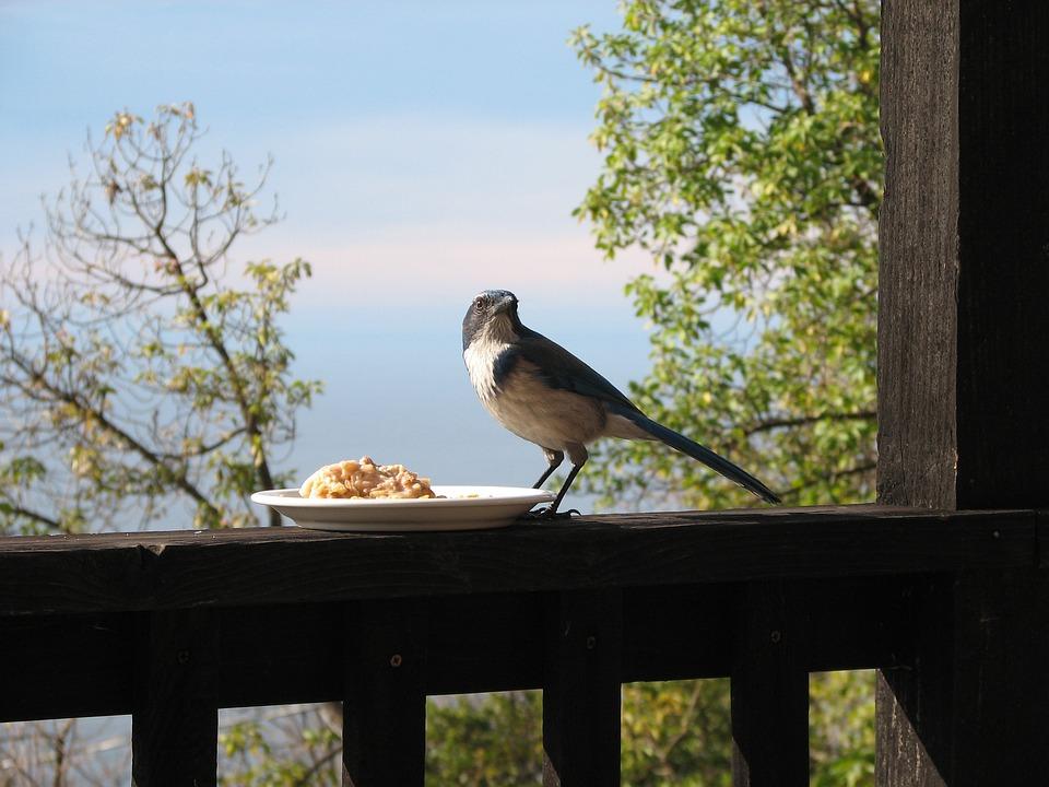 Bird, Porch, Fence, Oatmeal, Jay, Blue Jay, House