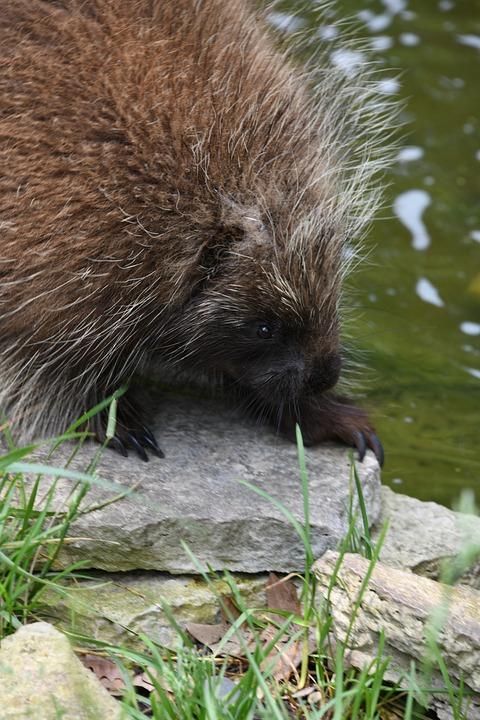 Porcupine, Zoo, Quills, Danger, Cute