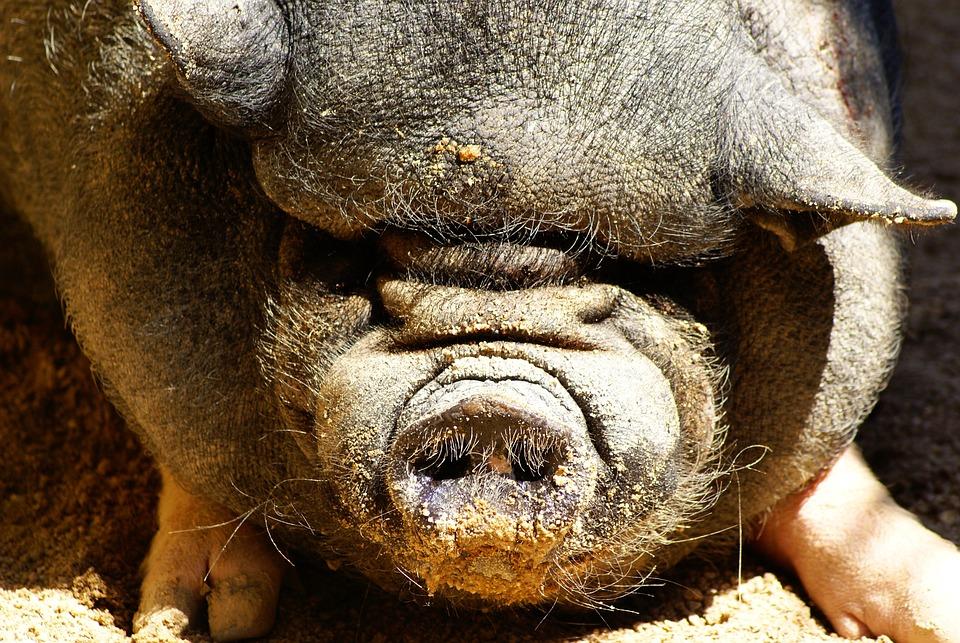 Pork, Farm, Animals, Mammals