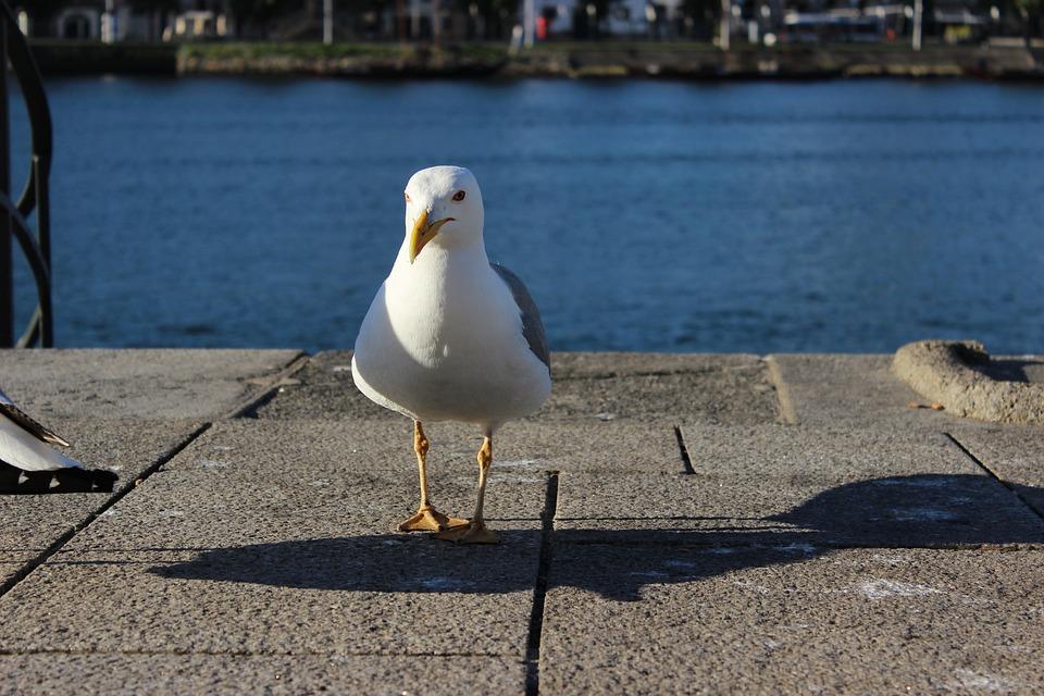 Porto River, Seagull, Forward