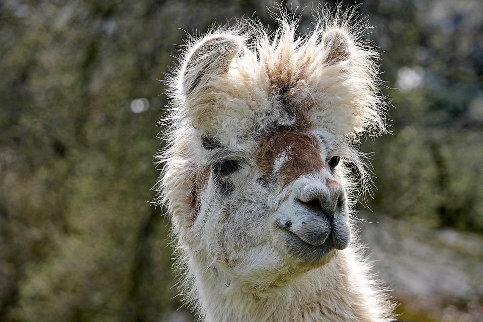 Lama, Head, Portrait, Andes, Paarhufer, Calluses Ohler