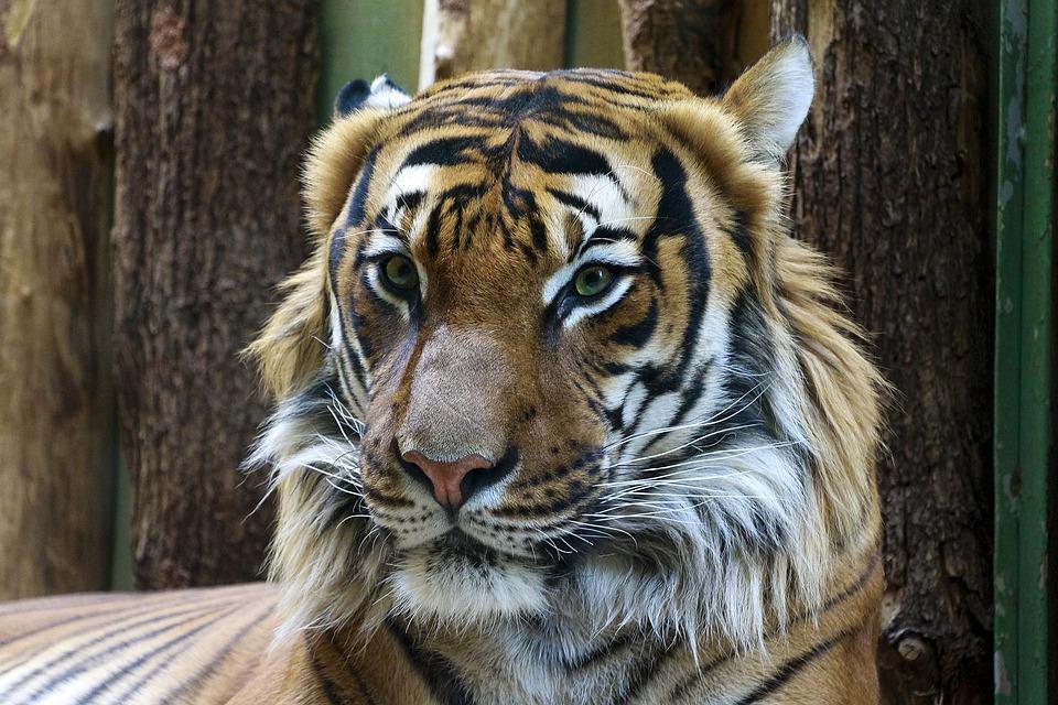 Animal, Tiger, Beautiful, Portrait, Zoo, Big Cat