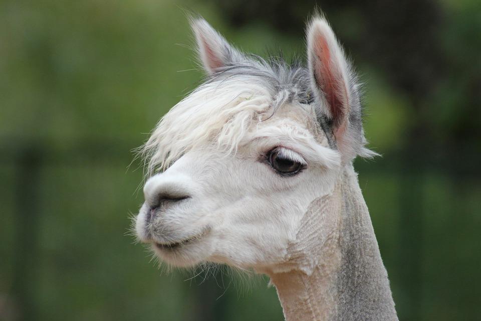 Alpaca, Portrait, Animal, Lama, Head, Close Up