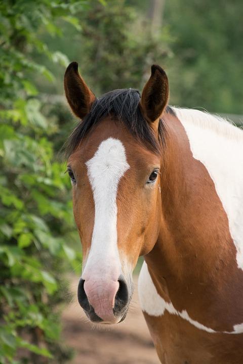 Horse, Animal, Portrait, Nature, Ride, Mare, Stallion