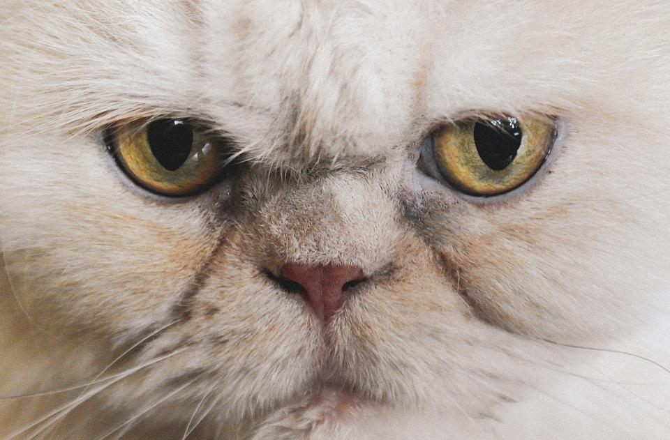Cat, Eyes, Persians, Animal, Portrait, View, Fur