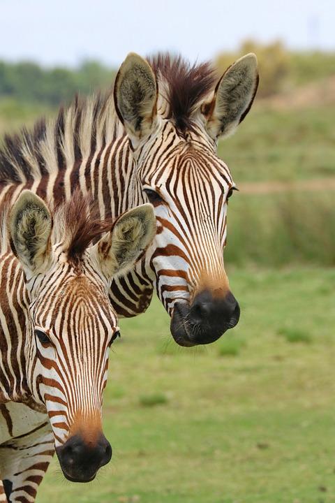 Portrait, Zebras, Mountain Zebras, Africa, Animal World