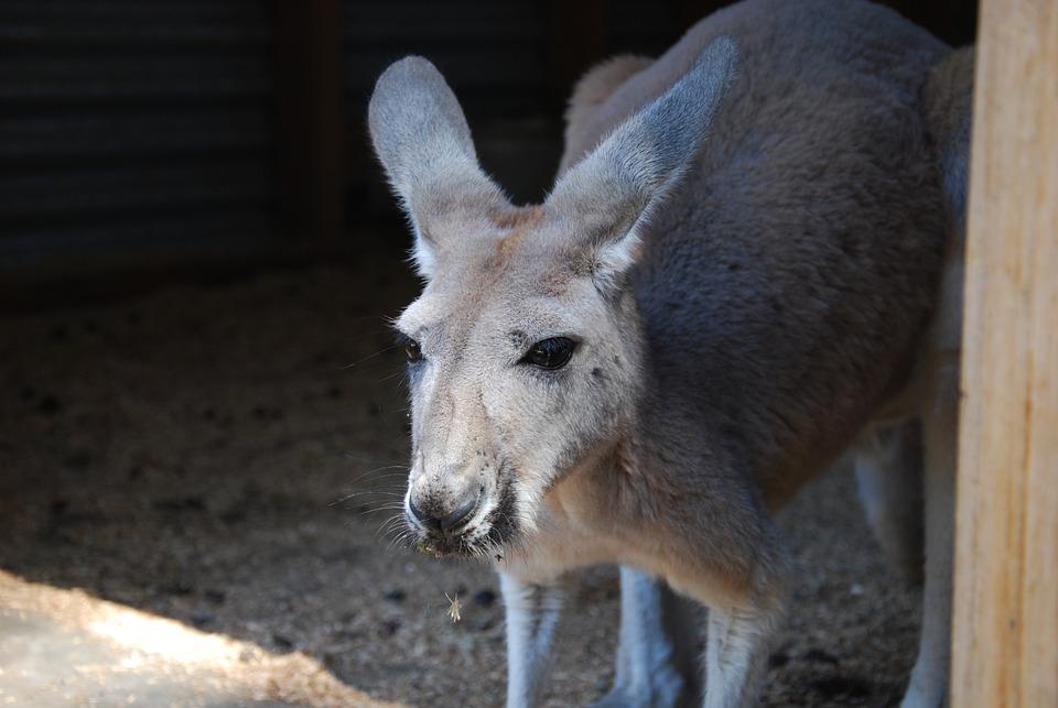 Mammal, Animal, Nature, Portrait, Wildlife, Australia