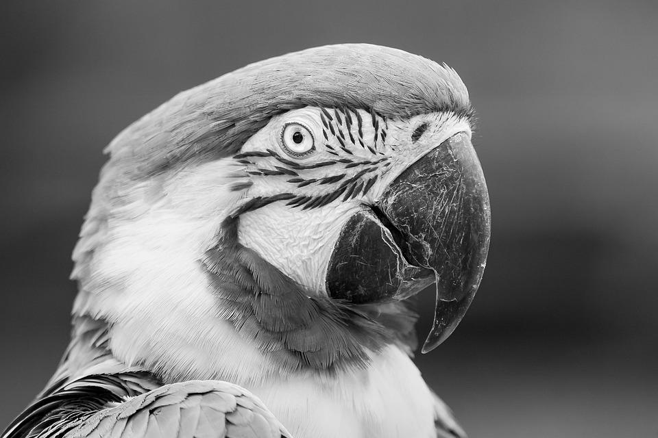 Blue-and-yellow Macaw Parrot, Bird, Avian, Portrait