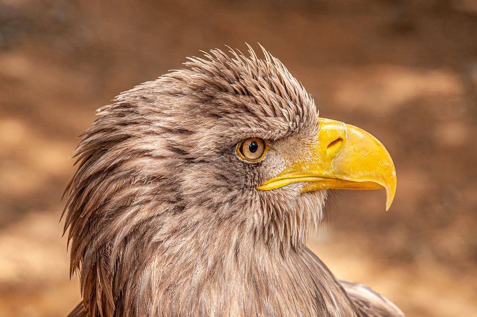 Eagle, Portrait, Predator, Bird, Beak, Feather, Head