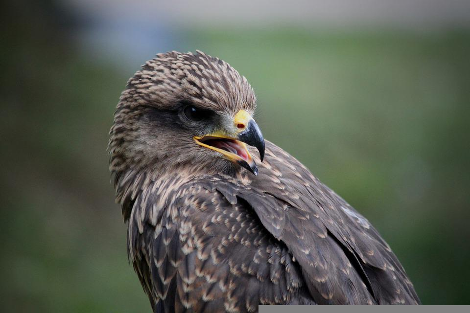 Falcon, Bird, Portrait, Bird Of Prey, Animal, Wild Bird