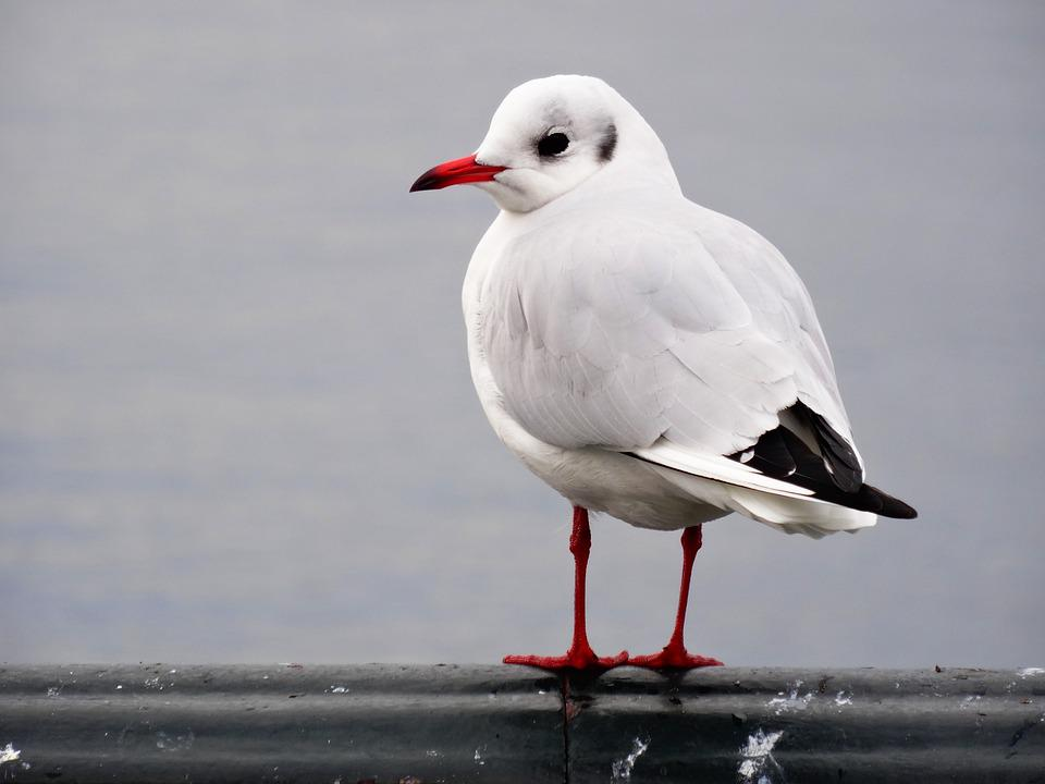 Seagull, Bird, Portrait, Close