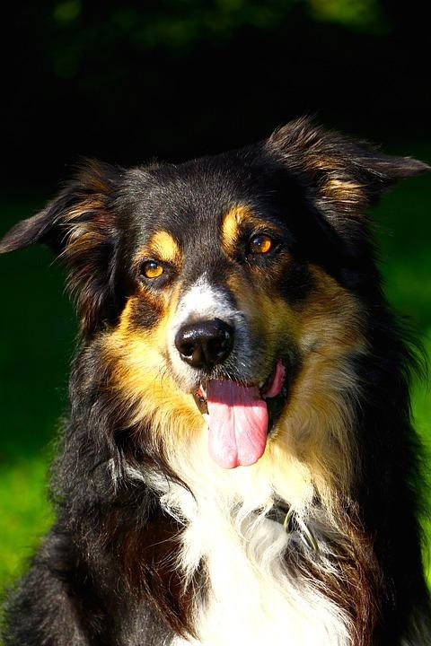 Dog, Border Collie, Portrait