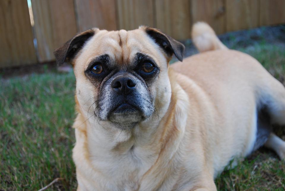 Dog, Canine, Mammal, Cute, Animal, Pet, Puppy, Portrait