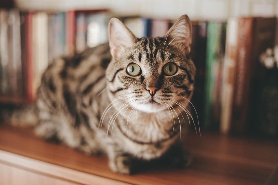 Cat, Animal, Kitten, Pet, Fur, Portrait, Feline, Nature
