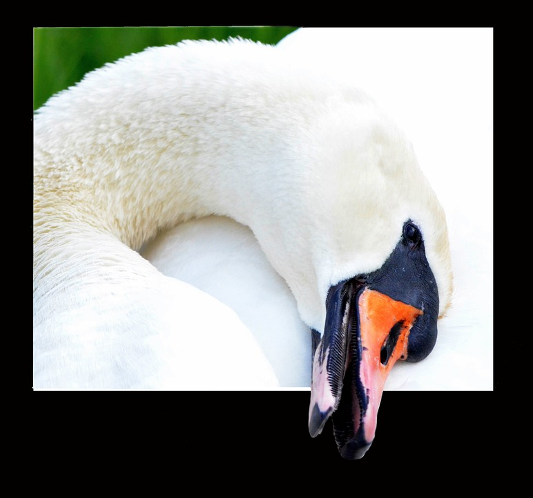 Swan, Close, Portrait, Animal Portrait, Animal World