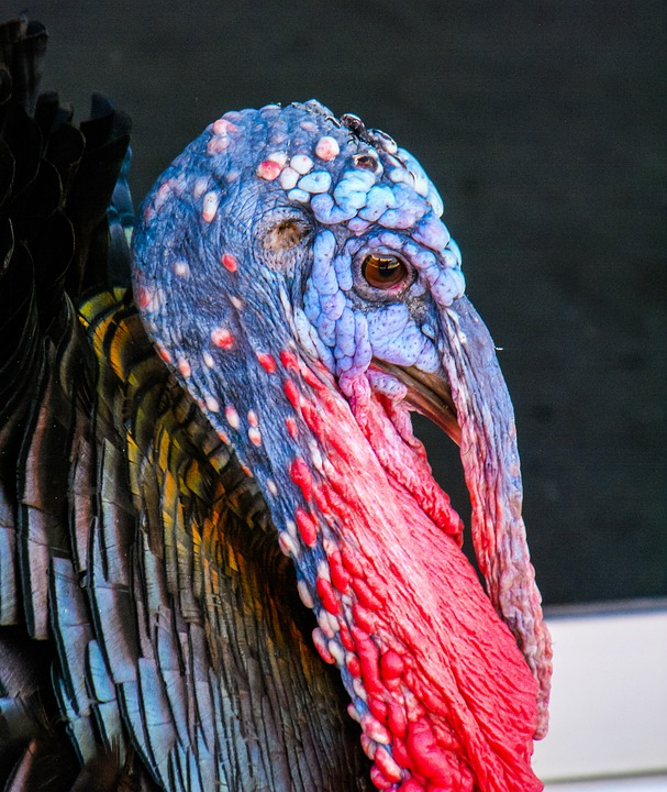 Turkey, Bird, Species, Portrait, Colorful