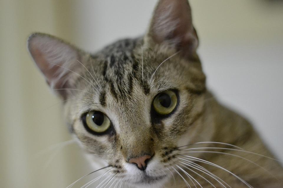 Cute, Cat, Pet, Portrait