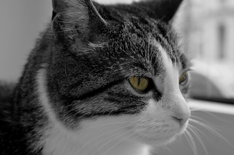 Cat, Domestic Cat, Pet, Animal, Cat's Eyes, Portrait