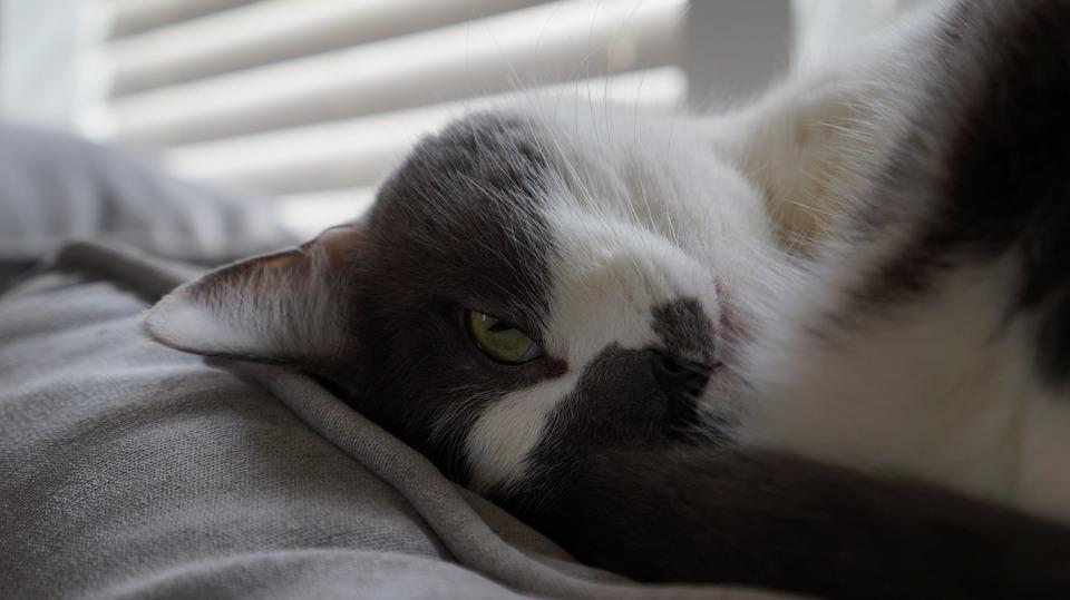 Cute, Animal, Mammal, Portrait, Pet, Sleepy, Domestic