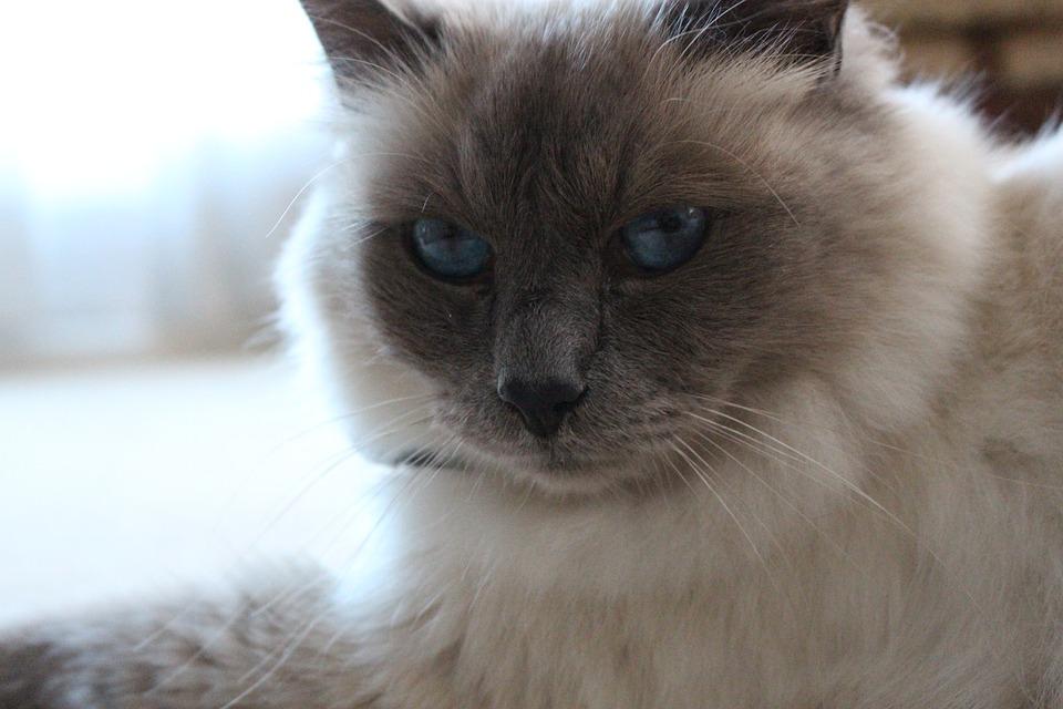 Birman, Blue Eyes, Cat, Close-up, Portrait, Feline