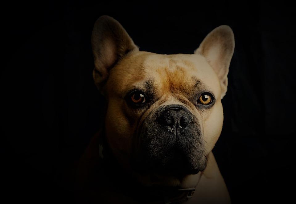 French Bulldog, Dog, Portrait, Black Background