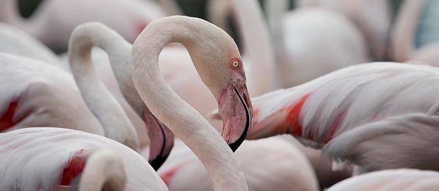 Flamingo, Portrait, Greater Flamingo