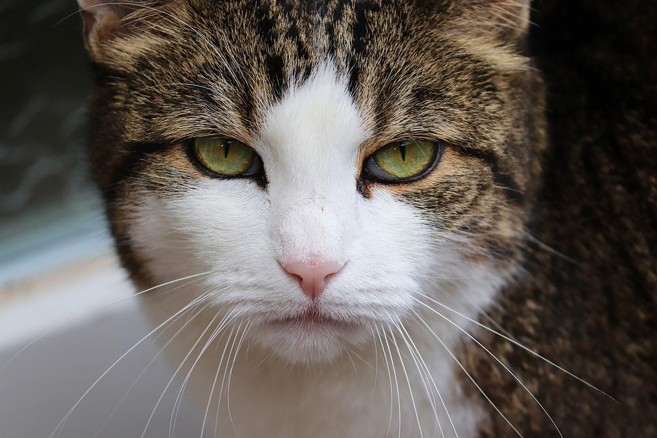 Cat, Grumpy, Bad Mood, Portrait, Close Up, Domestic Cat