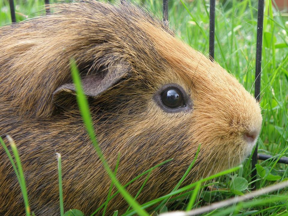 Guinea-pig, Male, Agouti, Grass, Portrait, Head