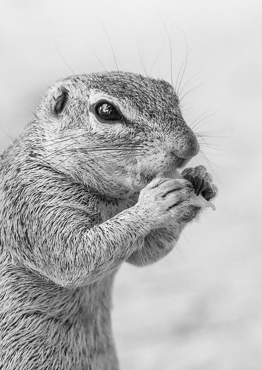 Ground Squirrel Feeding, Portrait, Head, Face