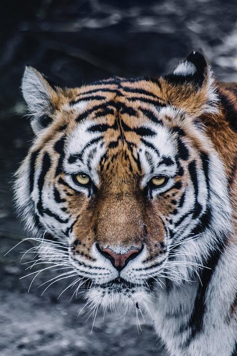 Tiger, Head, Feline, Wild Cat, Portrait, Animal